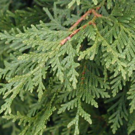 Thuja Essential oil  4