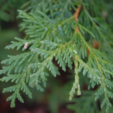Thuja Essential oil  5