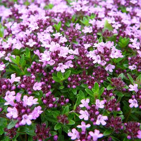 Thyme Red Essential Oil 5