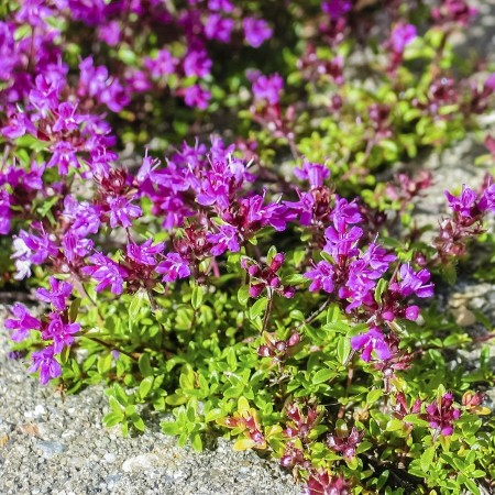Thyme Red Essential Oil 3