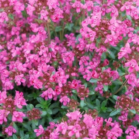Thyme Red Natural Blend Essential Oil 2