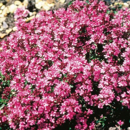 Thyme Red Natural Blend Essential Oil 3