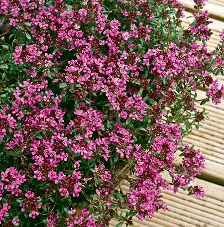 Thyme Red Natural Blend Essential Oil 5