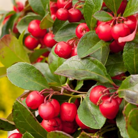 Wintergreen Essential Oil 3
