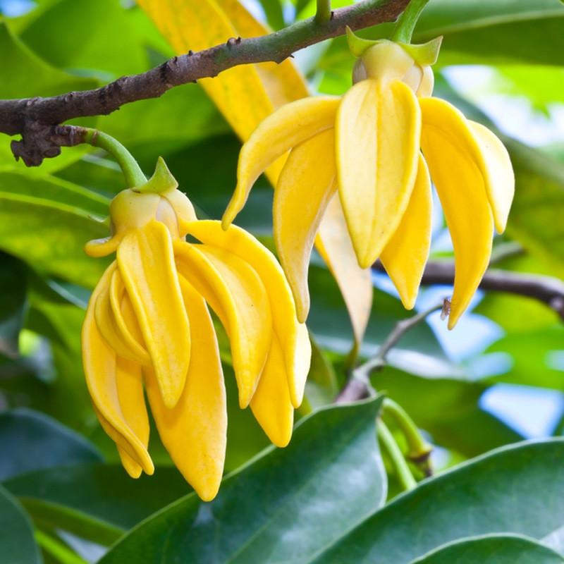 Ylang Ylang Essential Oil Madagascar 2