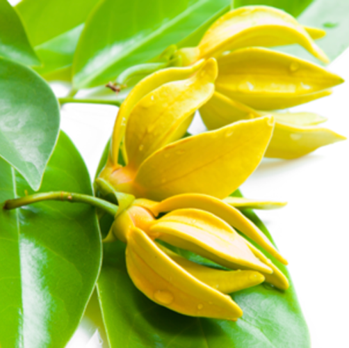 Ylang Ylang Essential Oil Madagascar 3