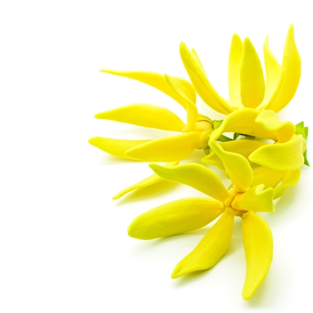 Ylang Ylang Essential Oil Madagascar 5