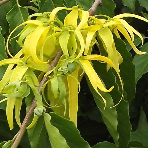 Ylang Ylang Essential Oil one 4