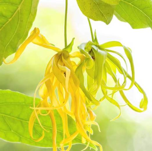 Ylang Ylang Essential Oil one 5
