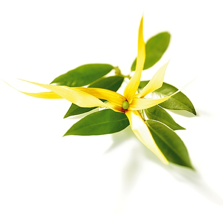 Ylang Ylang Essential Oil three 4