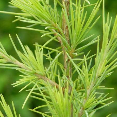 Cedarwood Himalayan Pure & Natural Floral Waters