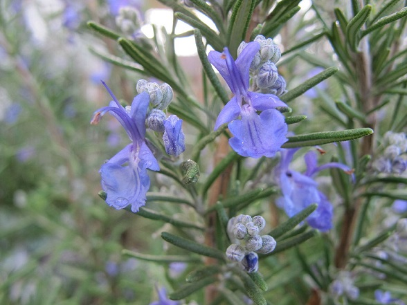Rosemary Therapeutic Grade Essential Oils