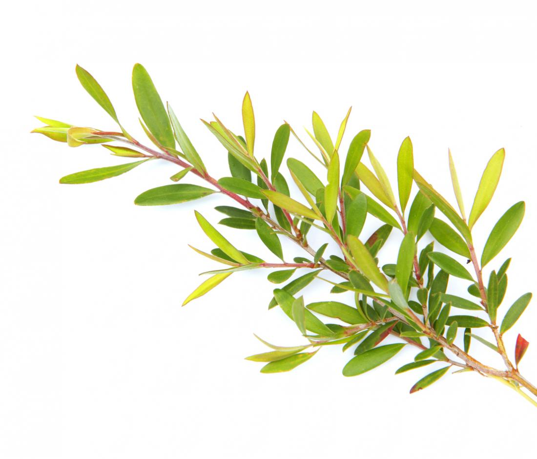 Tea Tree Co2 Extracts Oils