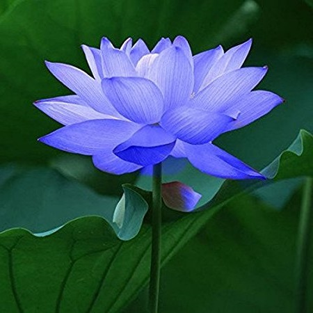 Lotus Blue Floral Absolute Oils