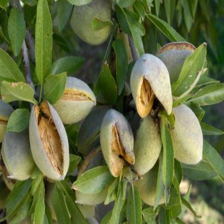 Almond Sweet Organic Carrier Oil