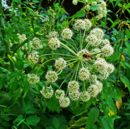 Angelica Root Essential Oils