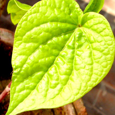 Betel Leaf Essential Oils