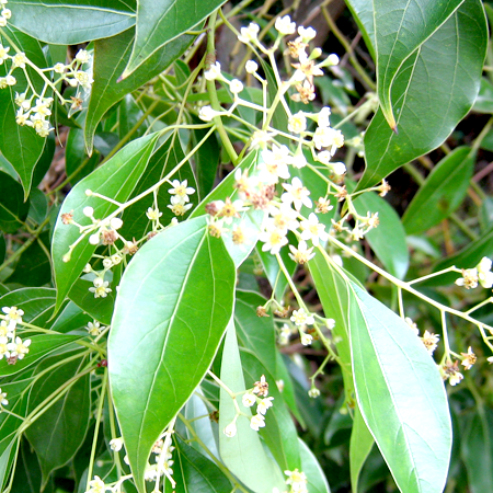 Camphor Essential Oil 1