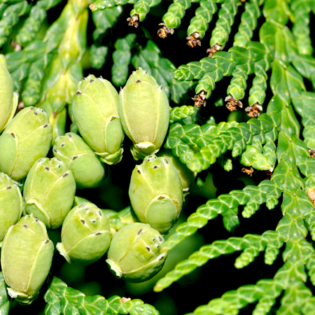 Cedar Leaf Thuja Essential Oil 1
