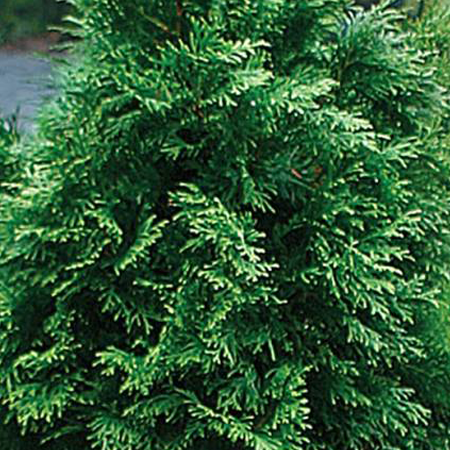 Cedarleaf (Thuja) Pure Floral Waters 1