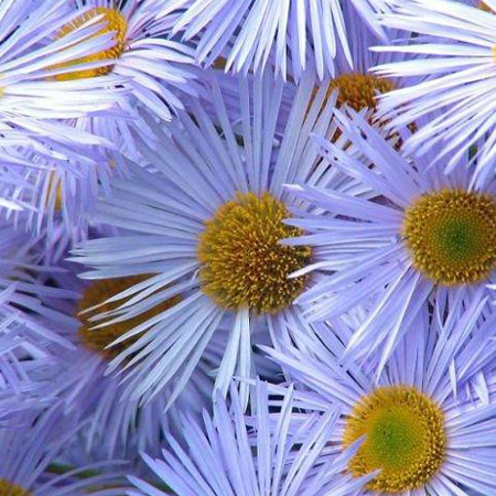 Chamomile Blue Pure Floral Waters