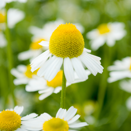 Chamomile German Hungary Essential Oil