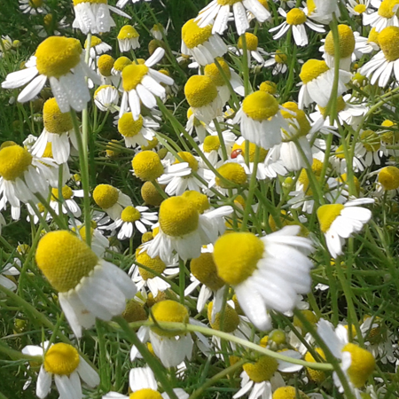 Chamomile German Nepal Essential Oil 1