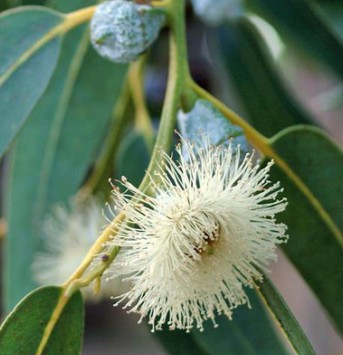 Eucalyptus Essential Oil Blue Mallee