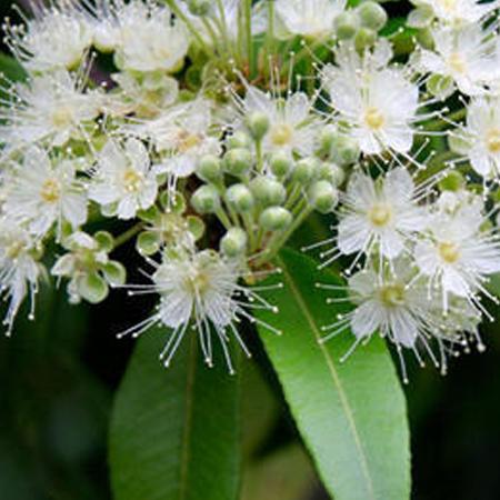Eucalyptus Hydrosol Floral Waters