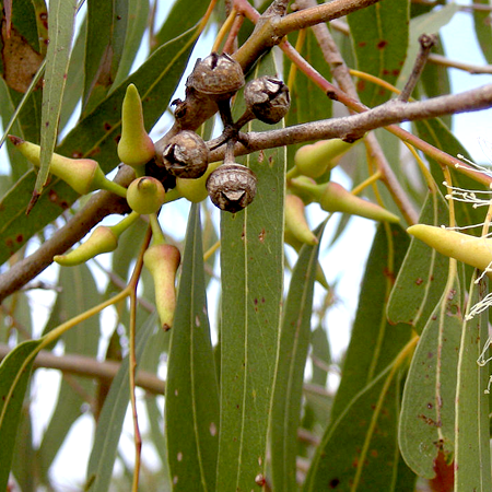 Eucalyptus Lemon Essential Oil India