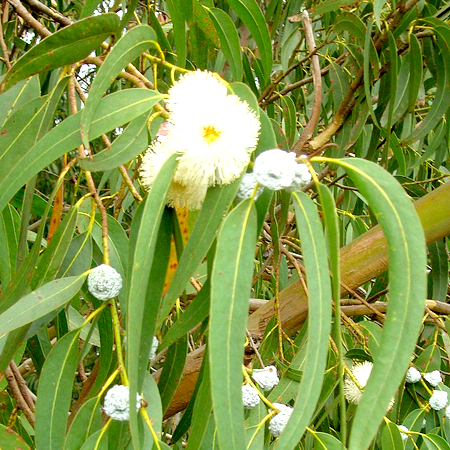 Eucalyptus Essential Oil Globulus