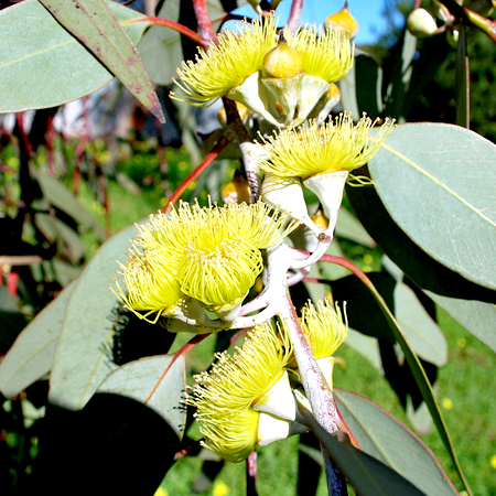 Eucalyptus Organic Essential Oil Lemon