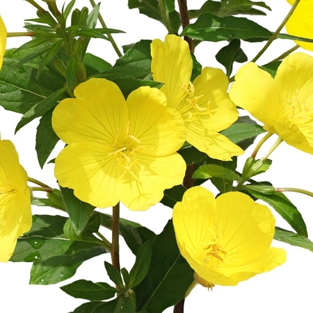 Evening Primrose Organic Carrier Oil