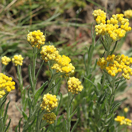 Helichrysum Floral Absolute Oil