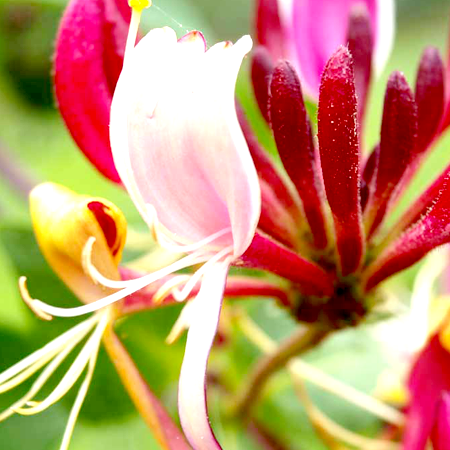 Honeysuckle Essential Oil