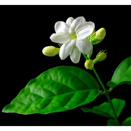 Jasmine Pure Floral Absolute Oil