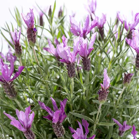 Lavender Absolute Oils