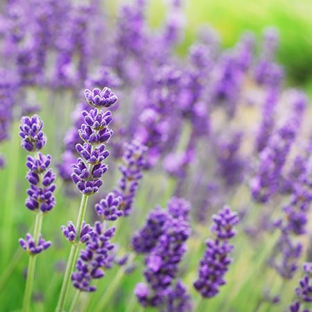 Lavender Floral Absolutes Water