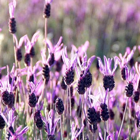 Lavender Essential Oil French