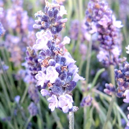 Lavender Essential Oil Spanish