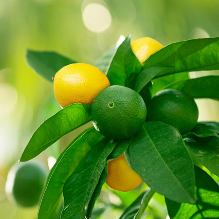 Lemon Therapeutic Grade Essential Oil