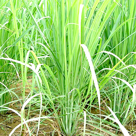 Lemongrass Essential Oil 1