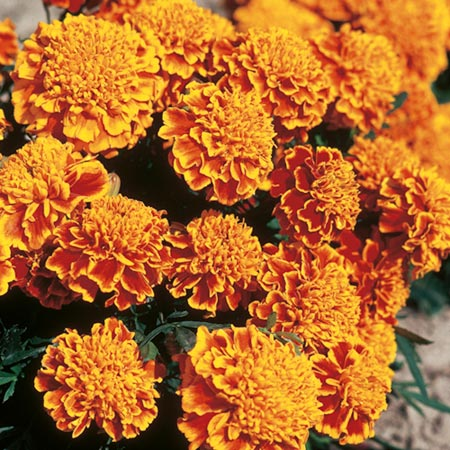 Marigold Floral Absolute Oil