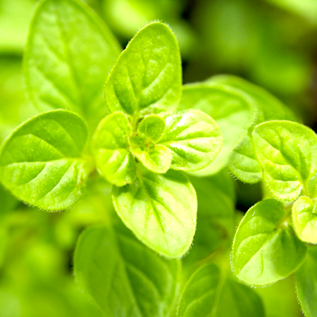 Marjoram Essential Oil Sweet