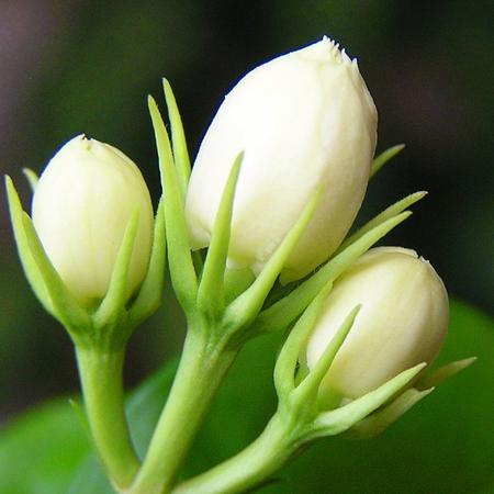 Mogra Pure & Natural Floral Waters