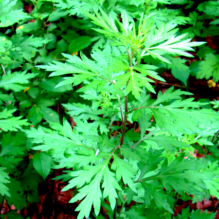 Mugwort Oil