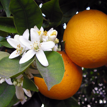 Orange Blossom Hydrosol Pure Floral Waters