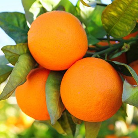 Orange Sweet oil - Certified Organic