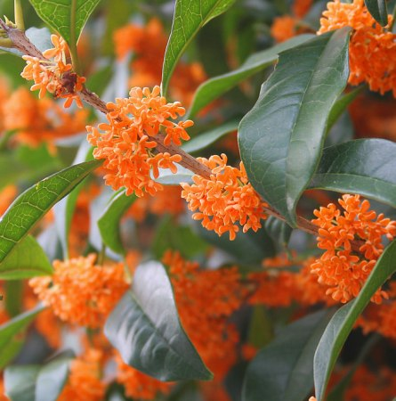 Osmanthus Natural Essential Oil