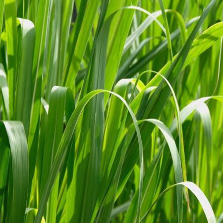 Palmarosa oil - Certified Organic